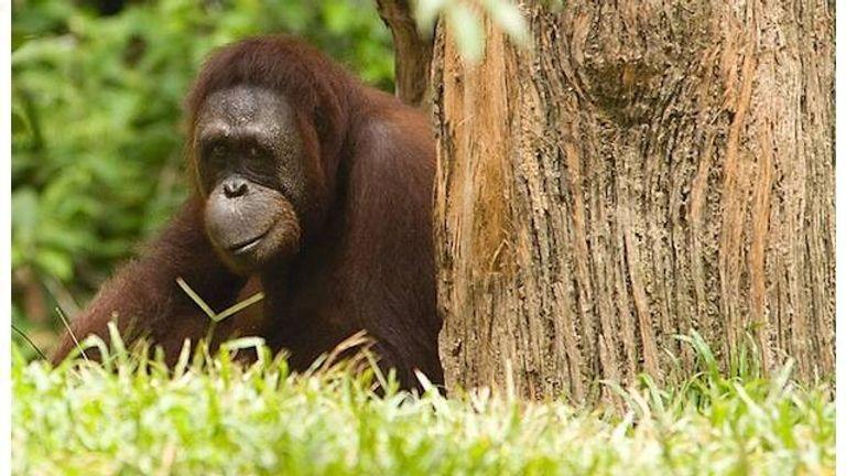 orangutan_640_chi_king