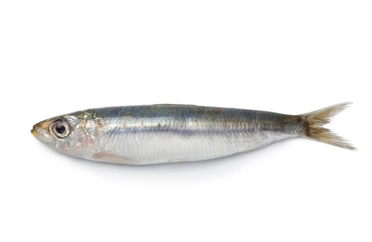 Whole single fresh sardine