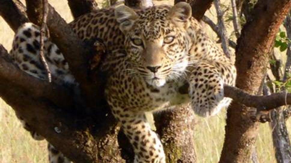 Leopard in a tree in the Masai Mara