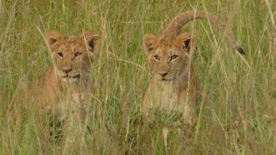 Two playful lion cubs in the Masai Mara