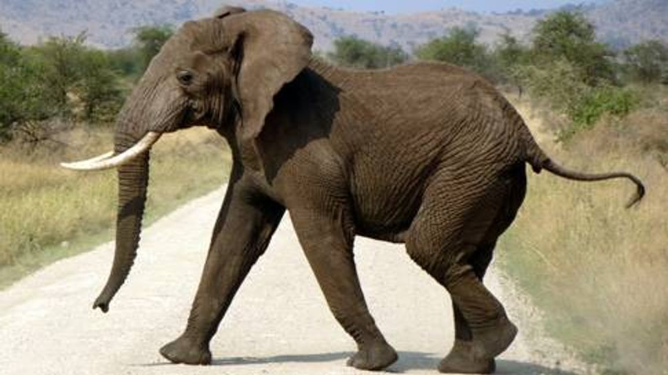 An elephant crossing the road in Serengeti National Park