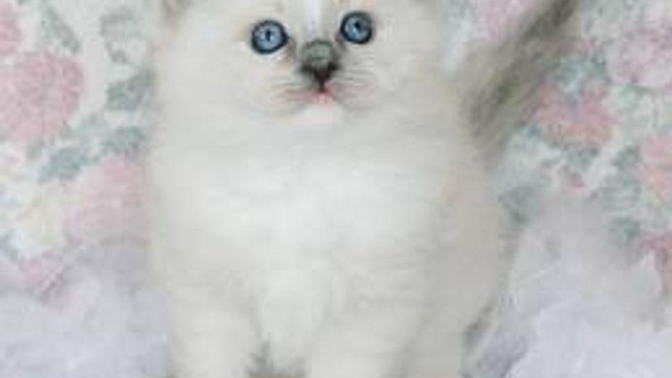 a white ragdoll cat