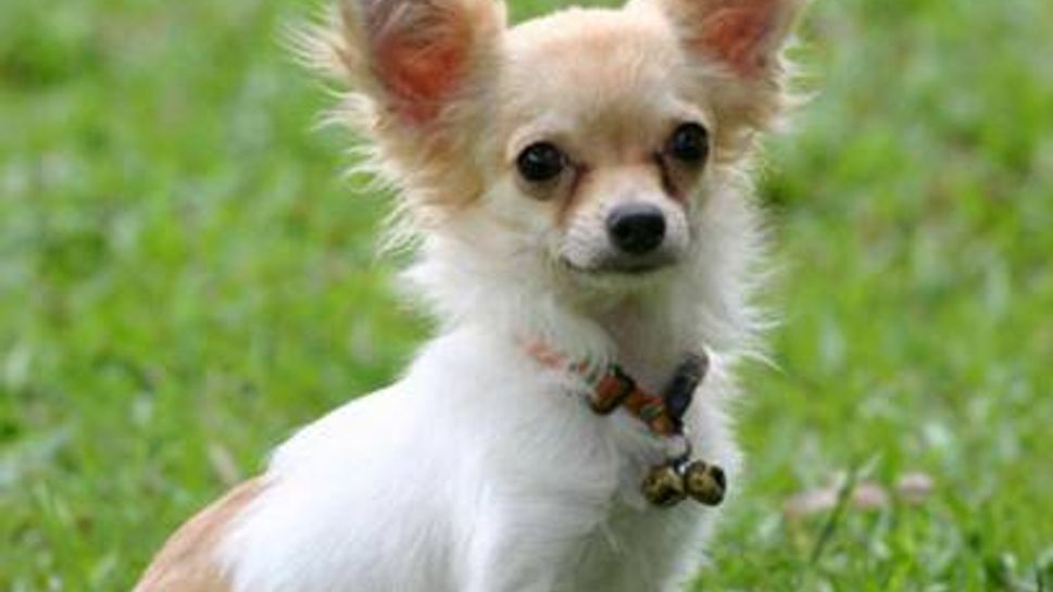a chihuahua outside in the grass