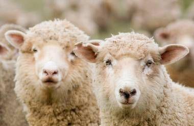 Sheep looking skeptical