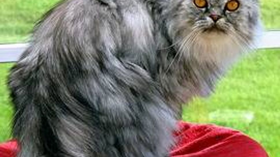 a persian cat standing on a red table