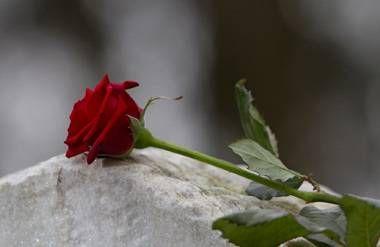 Red rose on gravestone