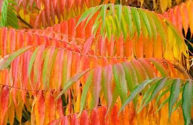 colorful leaves of a staghorn sumac