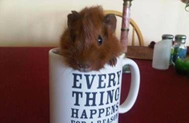 Ralphie the guinea pig