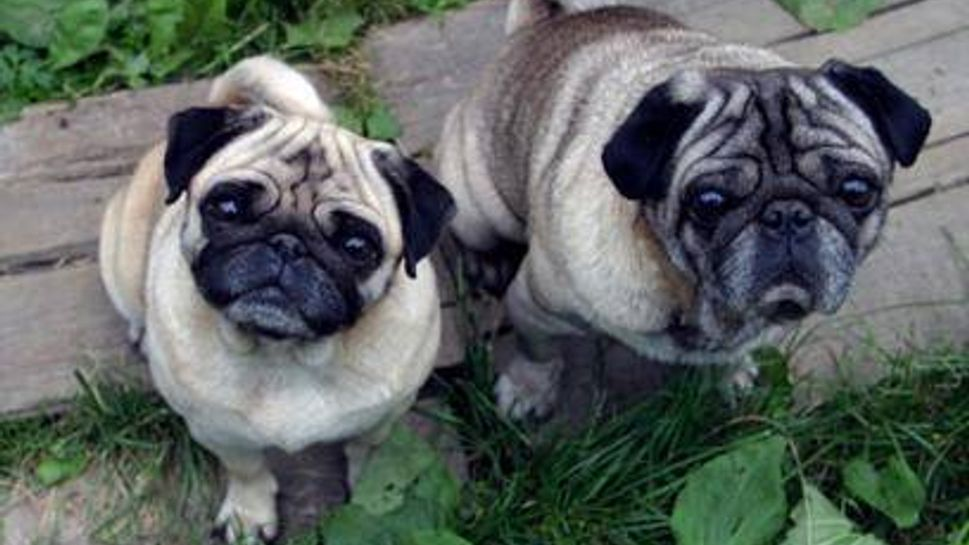 two pugs looking up