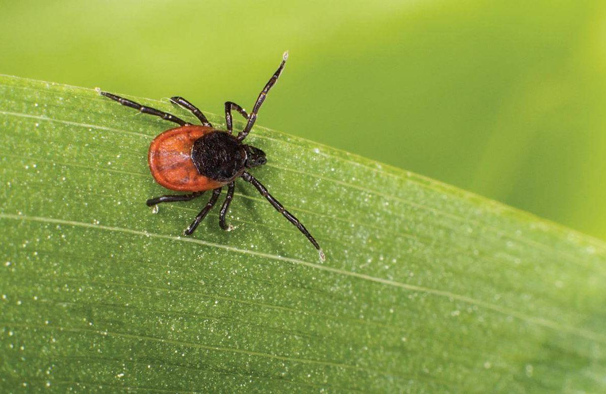 Tick bug