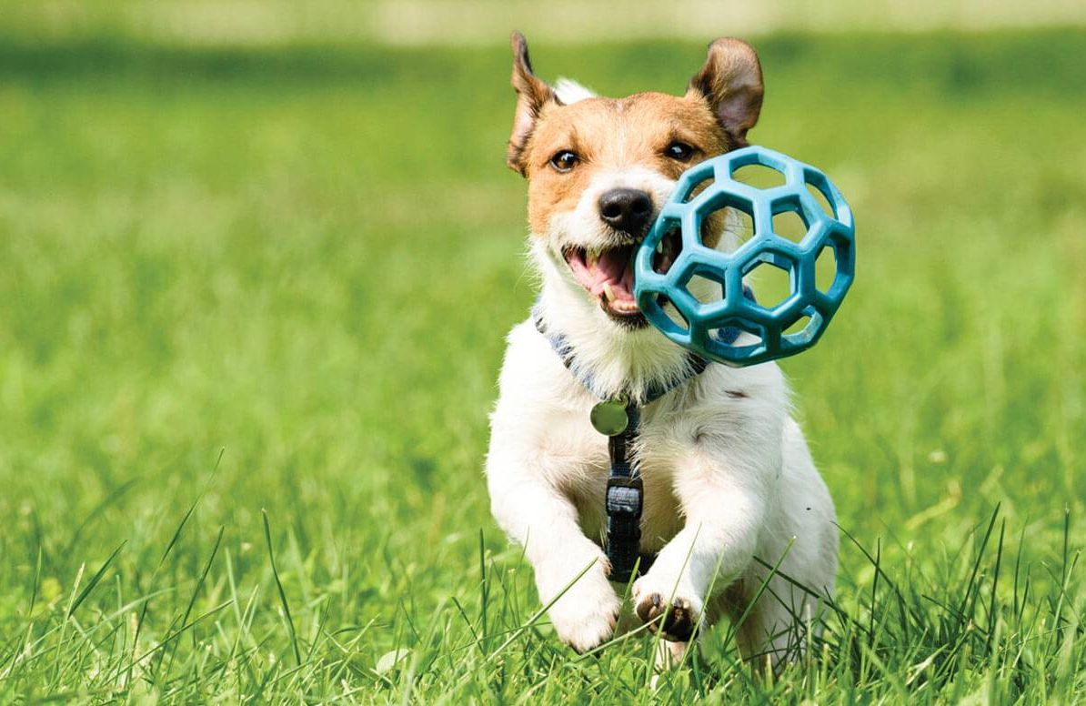 Dog running and playing with toy