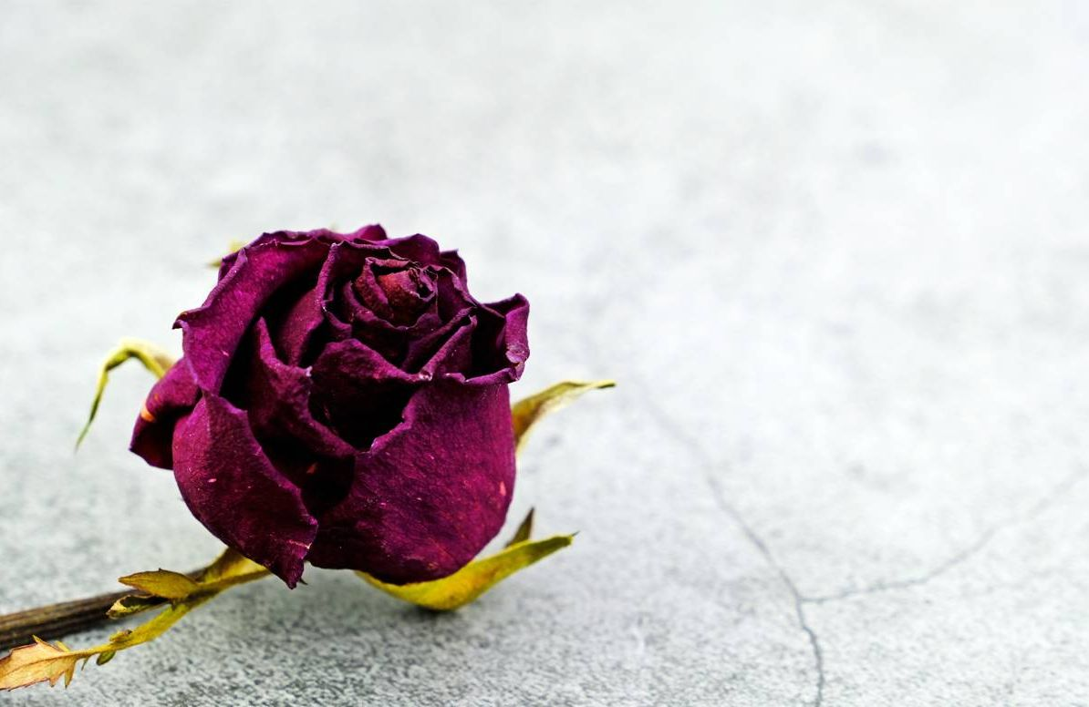 withered rose on cracked surface