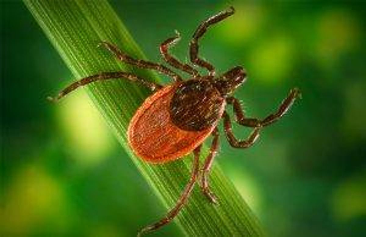 """Only the size of a sesame seed, adult blacklegged, or """"deer"""" ticks, are most prevalent in the fall"""