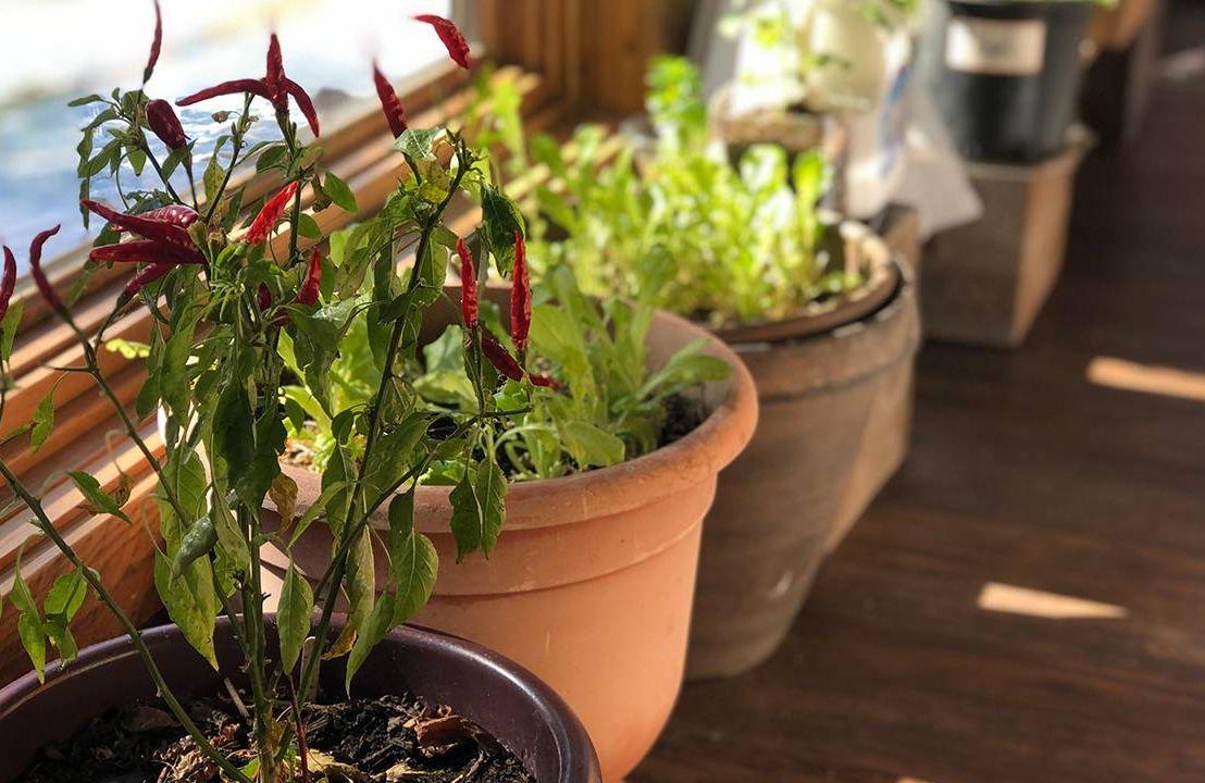 Pepper plants in an indoor garden, winter, Next Avenue
