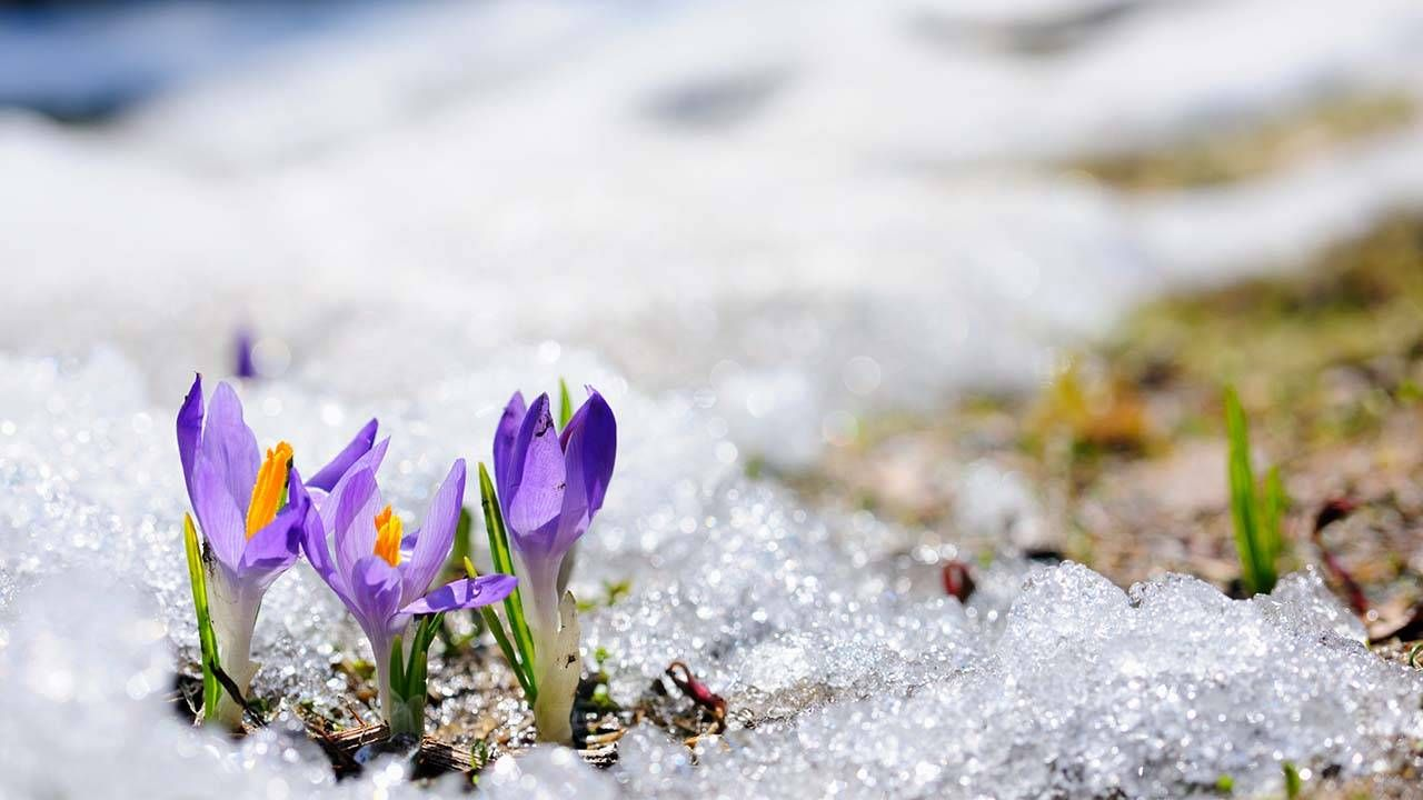Crocus flowers blooming in the snow, optimistic, hope, Next Avenue