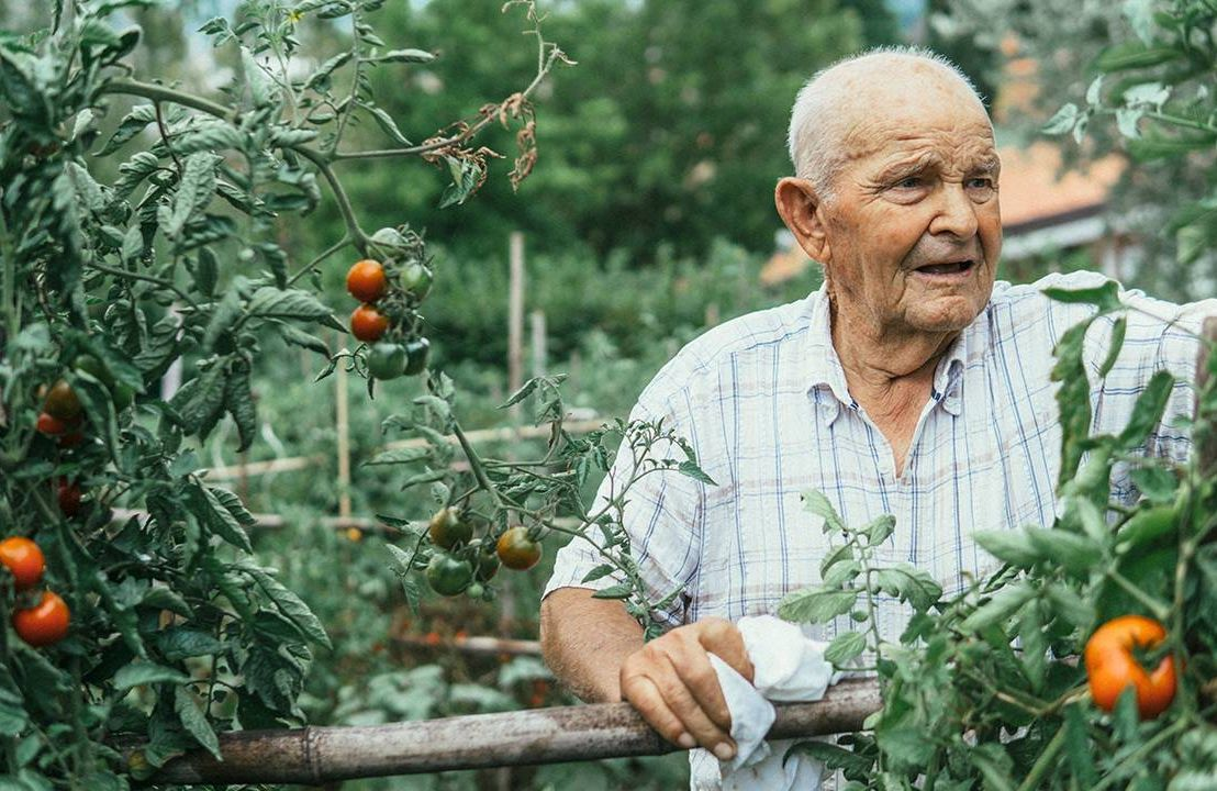A man who lives alone gardening outside, pruning tomatos. Next Avenue, dementia, live alone