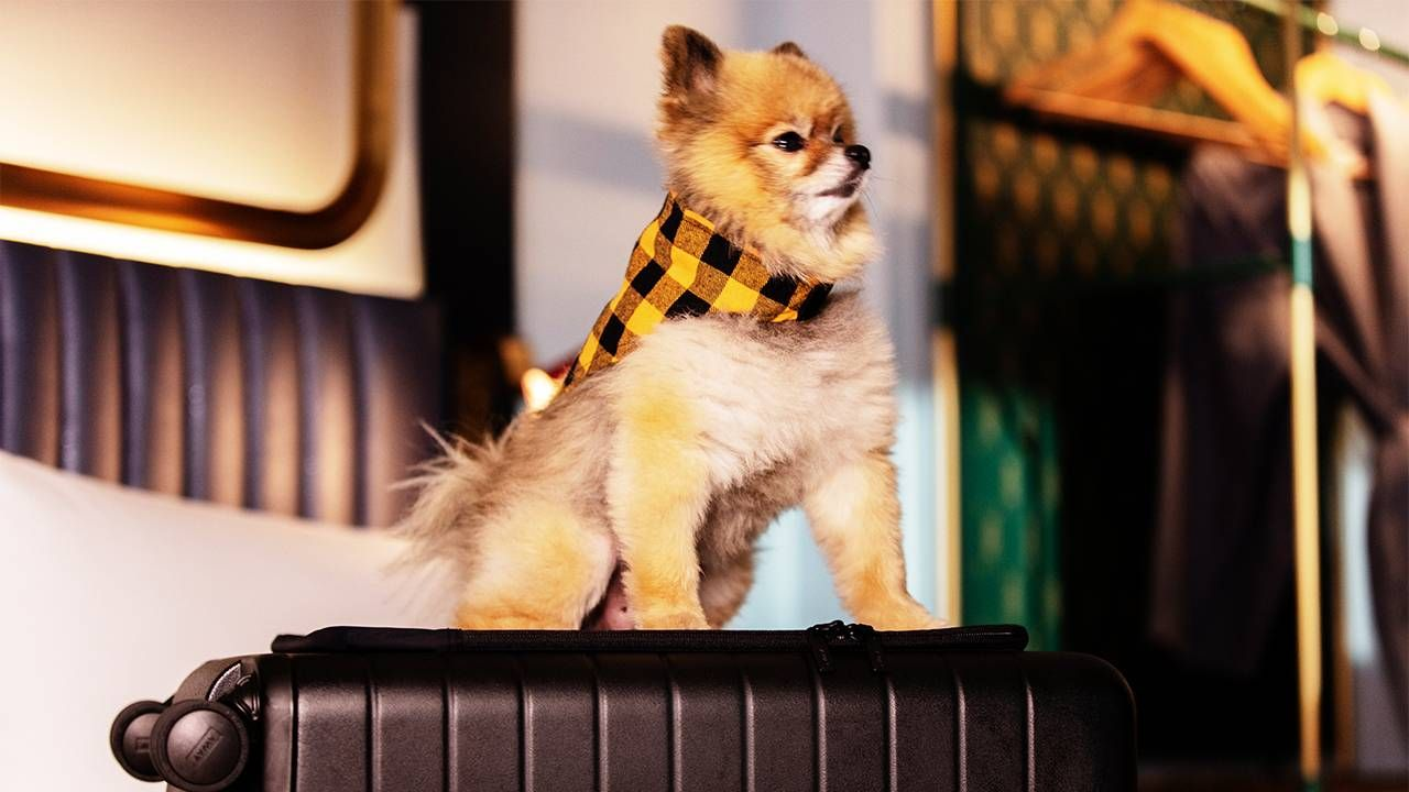 A dog on top of a suitcase wearing a scarf. Dogs, pets hotel, travel, Next Avenue