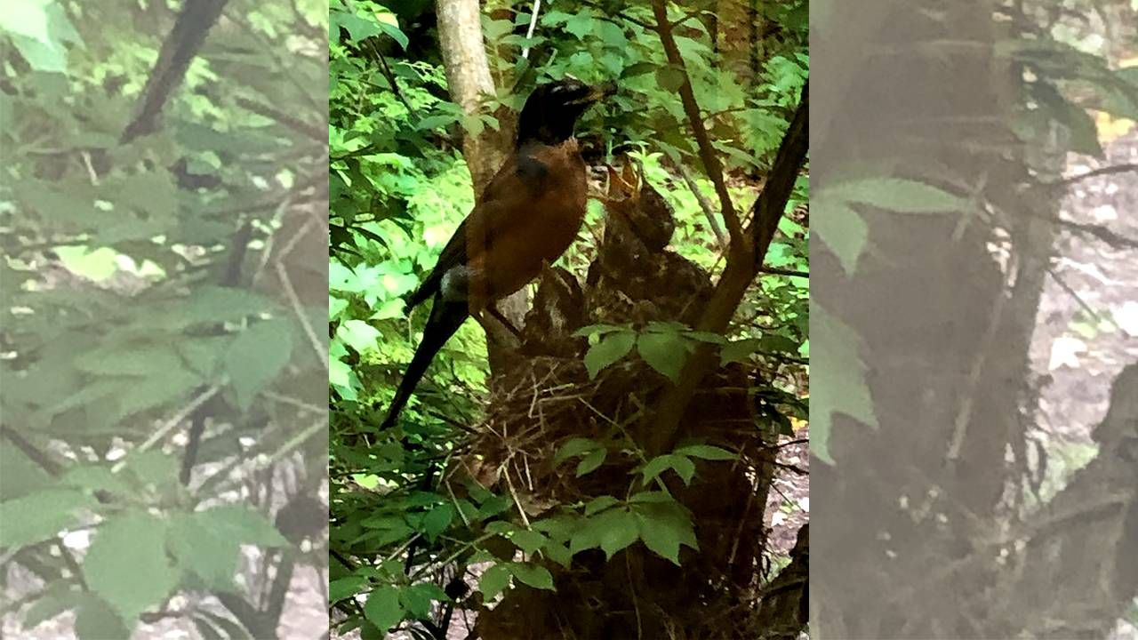 A mother Robin feeding two babies. Next Avenue, Birds