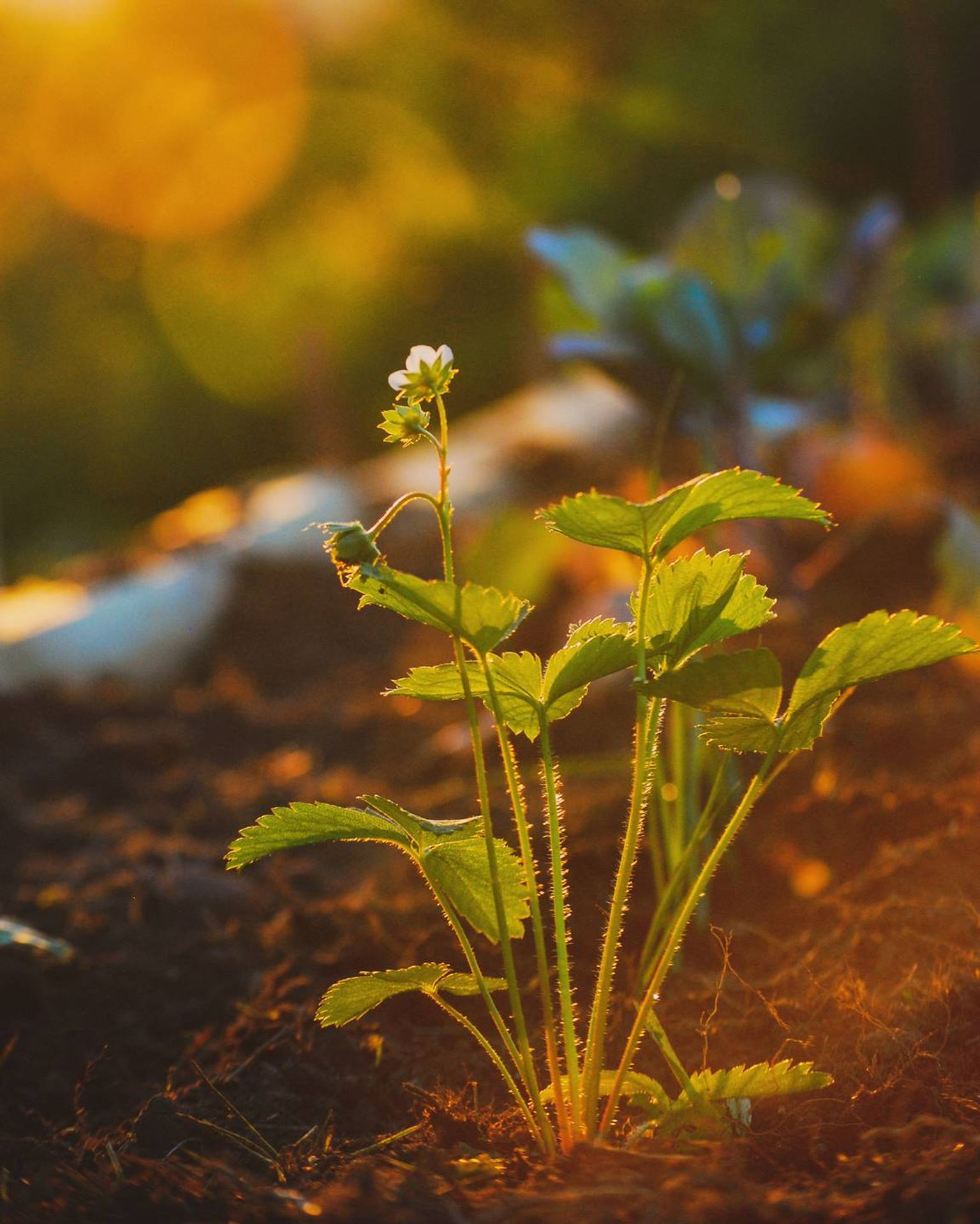Strawberry plant in a garden with lots of sunlight. Rewire PBS Love Gardener